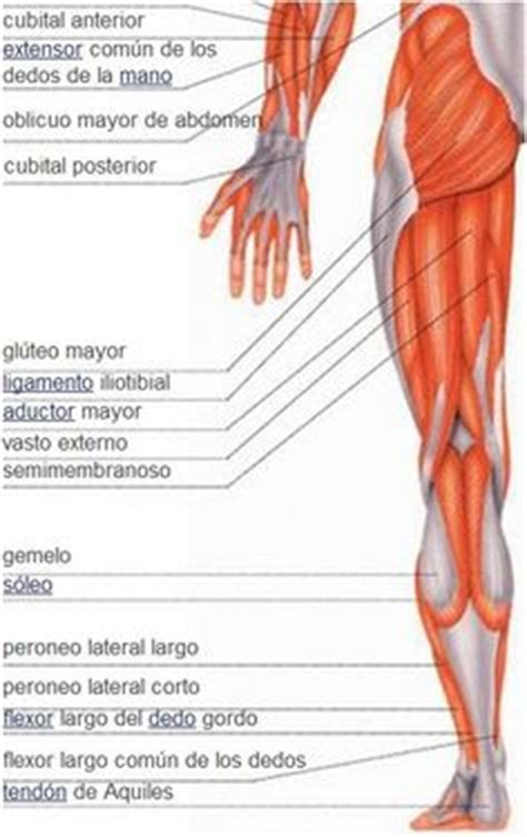 1000+ images about MÚSCULOS DEL CUERPO HUMANO on Pinterest